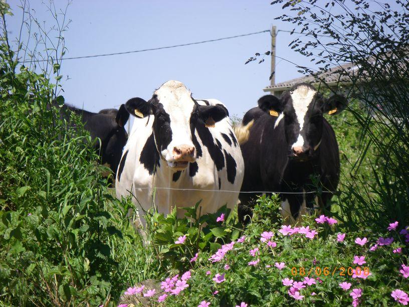 Vaches au milieu des fleurs à la ferme de Keroudy