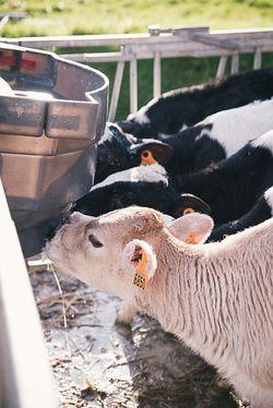 Veaux buvant du lait à la Ferme de Keroudy