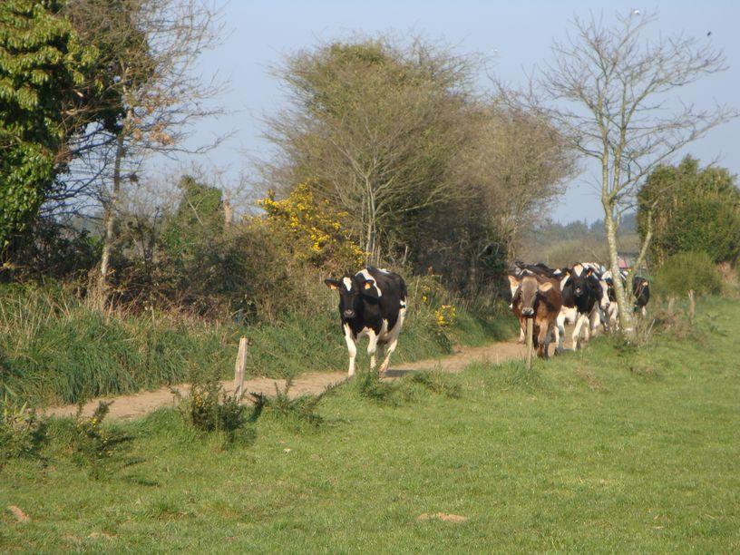 Troupeau de vaches qui court à la Ferme de Keroudy